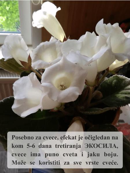 Posebno za cvece, efekat je ocigledan na 5-6 dana tretiranja Ekosilom Ekosila za sve vaše cveće
